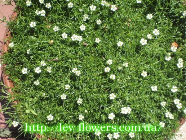 Мшанка шиловидная выращивание из семян в открытом грунте 15